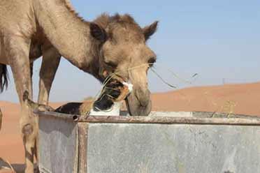 住沙漠养200只动物!日本小姐姐嫁到阿联酋后的生活