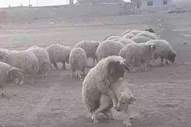 羊竟然敢骑牧羊犬?这些活久见的动物照让你大涨姿势