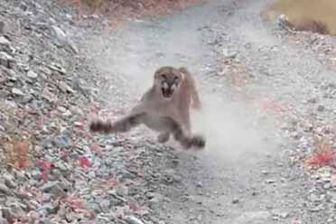 生命中的最后6分钟!男子在野外遭遇美洲狮尾随!