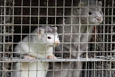 丹麦宣布捕杀全国1700万只水貂 因变异新冠可传人!