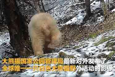 """全球唯一白色大熊猫长大变金白色!已""""自立门户"""""""