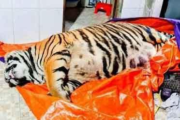 越南男子买下250公斤老虎准备宰了吃 幸亏警察及时赶到