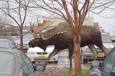 驼鹿的体型竟可以碾压汽车!15张巨大事物的神奇照片