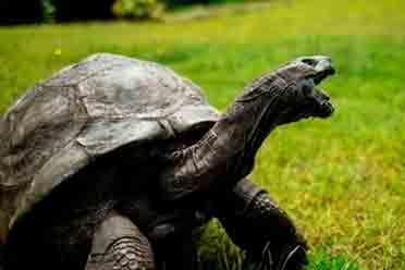 """真老色龟 189岁超高龄巨龟 """"好色""""程度让专家感叹"""