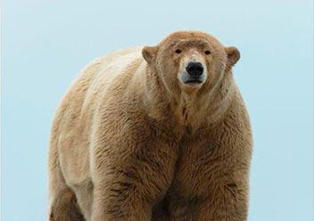 """美国动物园举办""""肥宅王""""比赛:肥胖熊熊,不怕冬眠!"""
