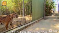原来人工饲养的老虎都是这么交流的...