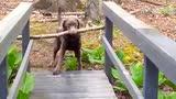 绝对是世界上最聪明的狗狗 千古难题迎刃而解!
