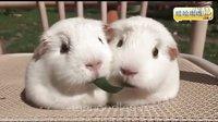 【哇哈哦哦】两只豚鼠同吃一根草~~吃着吃着就吻上了