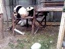 实拍熊猫打架,呆萌搞笑