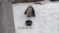 在雪里玩的不亦乐乎的熊猫