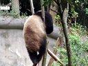 爆笑!蠢萌熊猫被树杈卡住上下不得!