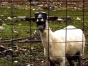 【youtube奇趣精选】你不知道的山羊叫!听完还hold得住么?