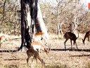 致命闪击!猎豹藏树上伏击羚羊