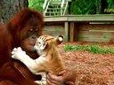 母猩猩喜欢照顾虎宝宝
