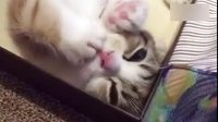 这是只安静舔肉垫的乖猫!